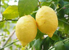 Два лимона на ветке