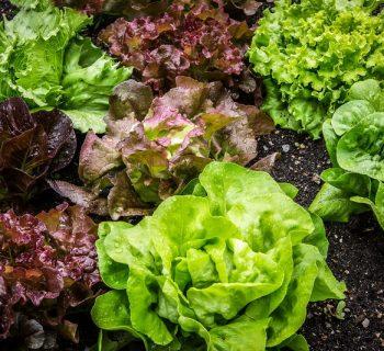 Зеленый и фиолетовый салат на грядке