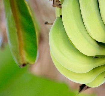 Зелёные бананы на дереве